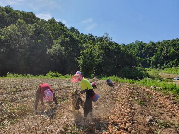 크기변환_사본 -농촌지도과, 양파수확 일손돕기에 구슬땀_-농촌지도과(사진2).jpg