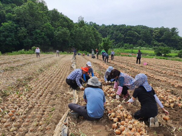크기변환_사본 -총무새마을과, 양파 수확 일손돕기 구슬땀-총무새마을과(사진1).jpg