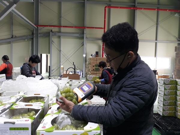 크기변환_사본 -전국에 김천 샤인머스켓의 달콤한 맛과 향이 한가득-농식품유통과(사진1).jpg